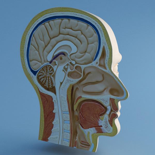Baş boyun anatomisi